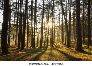 Sunlight through pine forest