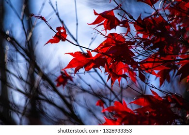 Sunlight through the red autumn leaves of a Japanese Maple tree in Connecticut USA