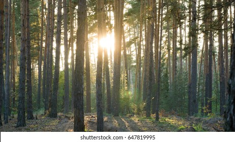 Sunligjts in pine forest