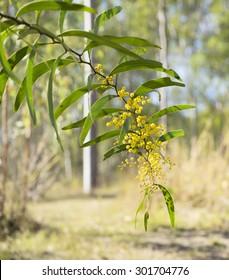 Sunlit australian zigzag wattle flowers Acacia macradenia in bush scene flowering in winter