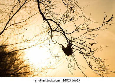 A sunlit backdrop sets this Orioles nest in the glow of a setting sun in North Texas.