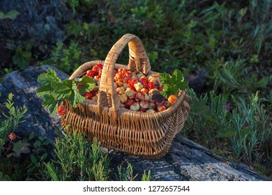 A sunlit basket full of freshly picked cloudberry. Location: Western Siberia.