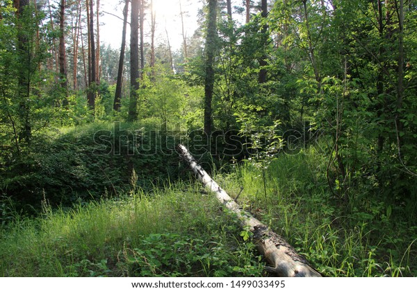 Sunlit Beautiful Forest Landscape Fallen Tree Stock Image