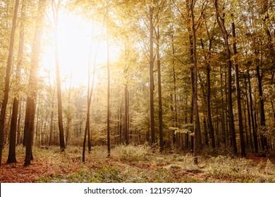 Sunlit beech forest in fall colors – Herten, NRW, Germany