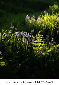 Sunlit bluebells and ferns