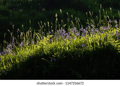 Sunlit bluebells and grasses