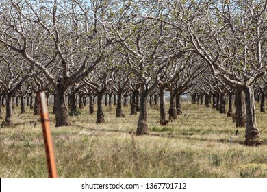 Sunlit branches of pistachio nut tree in desert commercial orchard