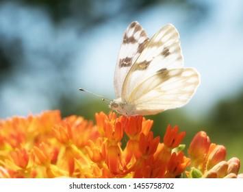 Sunlit Checkered White butterfly feeding on an orange Asclepias tuberosa flower