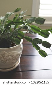 Sunlit Christmas cactus on a table.