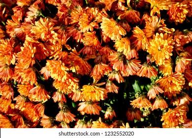 Sunlit Chrysanthemum covered in morning dew drops