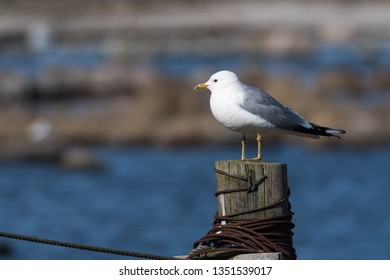 Sunlit Common Seagull, Larus canus, sitting on an old wooden post