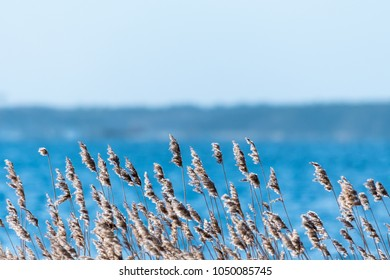 Sunlit dry fluffy reed flowers at winter season