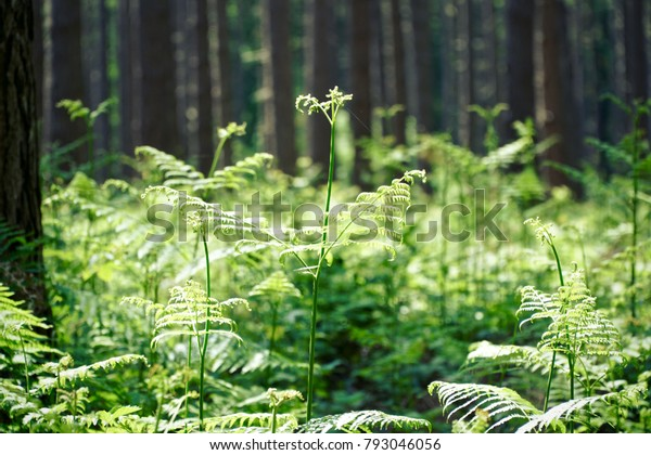 Sunlit fern underneath tall trees in a forest