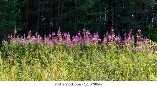 Sunlit Fireweed flower (Chamaenerion angustifolium) against dark shadowed forest. Purple to pink flowers of fireweed wild flower, also known as great willowherb and rosebay willowherb.