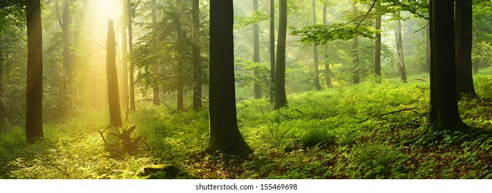 Sunlit Foggy Beech Tree Forest