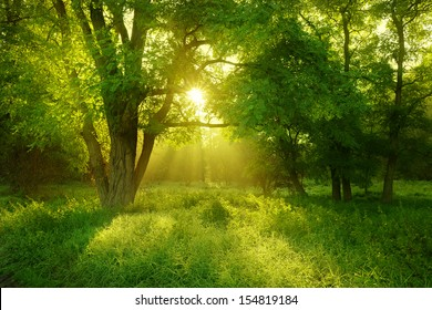 Sunlit Foggy Forest with Black Locust Tree on Clearing