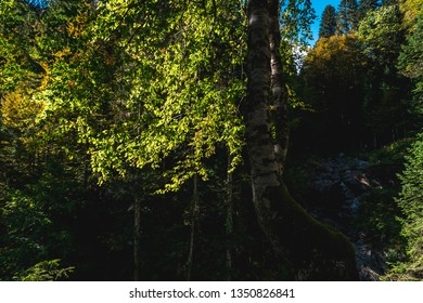 Sunlit foliage and dark birch tree trunk in shadow, and mountain forest rocky waterfall in background on sunny autumn day