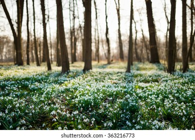 Sunlit forest full of snowdrop flowers in spring season - wide-angle view of nature with extremely blurred background
