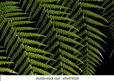 Sunlit fronds of Dicksonia antarctica (man fern), Tasmania, Australia