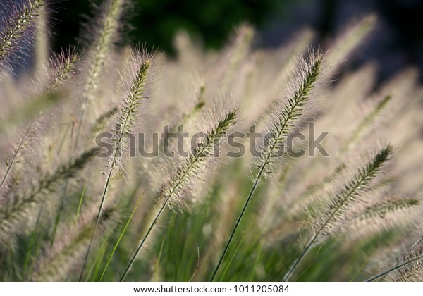 Sunlit grass plumes moving in the wind
