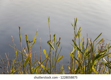 Sunlit green reeds by calm water