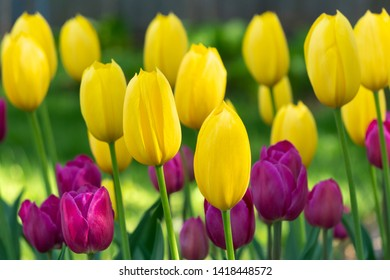 Sunlit grouping of yellow and magenta tulips in early morning light.
