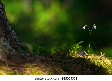 Sunlit Linnaea borealis or Twinflower in the forest
