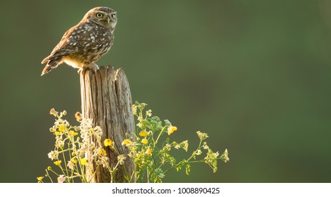 sunlit little owl on a fence post