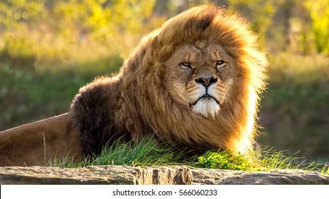 Sunlit Male Lion