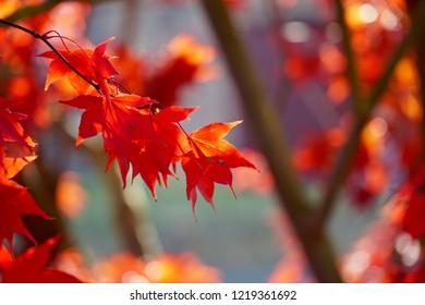 Sunlit Maple Leaf