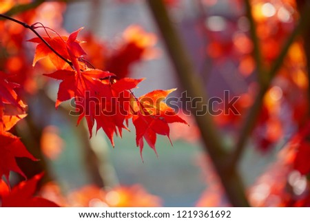 Sunlit Maple Leaf