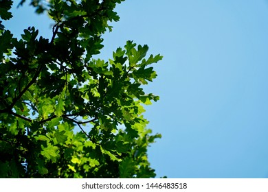 Sunlit Oak tree leaves against a blue sky