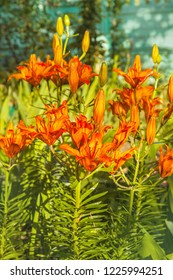 Sunlit orange saffron lilies(Lilium dahuricum; Lilium pensylvanicum) in the drops of dew in a morning garden