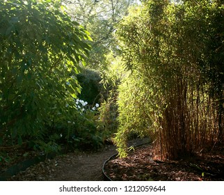 A sunlit path curves between a bush and a bamboo patch in this English garden in Fall (Autumn)