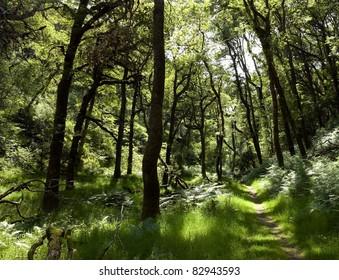 Sunlit path through oak woodlands