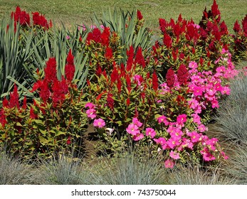 Sunlit red celosia plumosa & pink flowers on a lawn. Group of flowers.