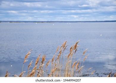 Sunlit reeds by seaside on the swedish island Oland