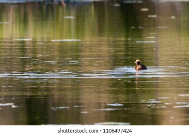 Sunlit Slavonian Grebe, Podiceps Auritus, an early morning in a pond on the swedish island Oland