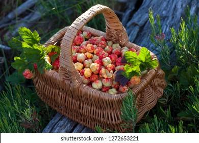 A sunlit wicker basket full of cloudberries.