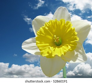sunlit yellow and white daffodil crown