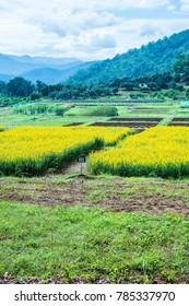 Sunn Hemp Field in Thai, Thailand.