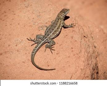 Sunning  Desert Lizard