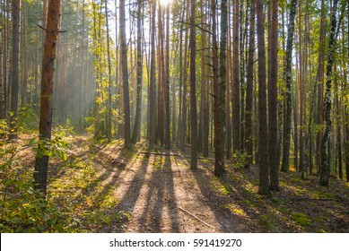 Sunny autumn forest with foggy air in the morning