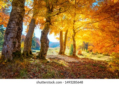 Sunny autumn forest  landscape with big golden trees
