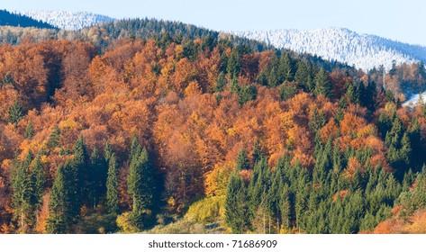Sunny autumn mountain forest and hoarfrost on trees top (on mountainside). (Carpathian, Ukraine)