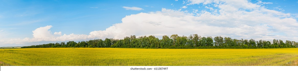 Sunny blossoming rapeseed field with tree line behind