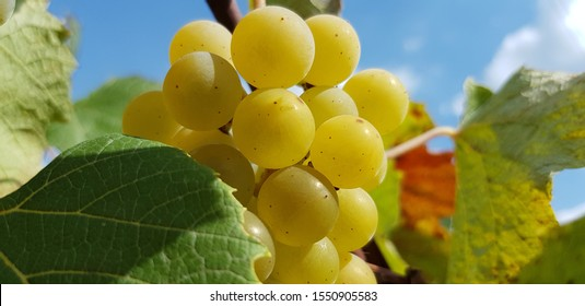 Sunny bunch of white Isabella grapes in leaves against the blue sky