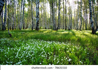 Sunny camomile glade in birch forest