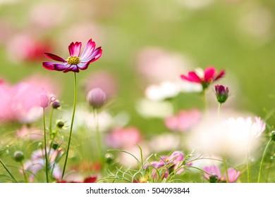 Sunny Cosmos flowers