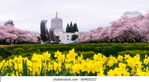 Sunny daffodils are blooming in front of the Capitol, with Cherry trees blossoming pink in the background. Spring has arrived at Oregon.